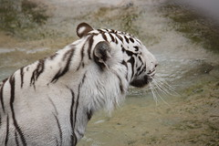 Yangyu (Olaya Garcia) Tags: white blanco canon island eos tiger canarias lp tenerife canary tigris tigre islas whitetiger teneriffe loroparque panthera pantheratigris tigreblanco 1000d