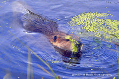 SOME DAYS YOU JUST HAVE TO .... (Aspenbreeze) Tags: nature water animal rodent pond wildlife beaver bayou wildanimal marsh beaverswimming aspenbreeze moonandbackphotography bevzuerlein