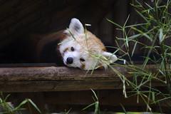 Zoo / Mnagerie du Jardin des Plantes - Red Panda (scuzzilla) Tags: red paris france animal rouge zoo nikon panda jardin sigma des 28 fx roux plantes 70200mm menagerie d600