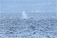 265HDRa (markbyzewski) Tags: alaska ugly whale humpbackwhale hdr