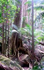Blue Quandong, Elaeocarpus grandis (Poytr) Tags: worldheritagesite nsw trunk bluefig talltrees murwillumbah buttressroots elaeocarpaceae elaeocarpusangustifolius elaeocarpus archontophoenixcunninghamiana subtropicalrainforest bluequandong elaeocarpusgrandis arfp tallesttrees qrfp nswfrp mountwarningnationalpark treesofaustralia tertiarybasalt rainforesttreesofaustralia lowlandarf subtropicalarf commonnamebluequandong