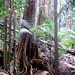 Blue Quandong, Elaeocarpus grandis