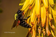 IMG_0230 (EcoChannel) Tags: mel mamangaba mamangava nctar