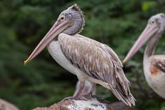 IMG_1981-Edit (Scrumhalf) Tags: india pelicans birds chennai mahabalipuram muttukadu