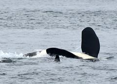 Boys Will be Boys (Hysazu) Tags: wild dolphin whale orca orcinusorca salishsea southernresidentkillerwhale srkw
