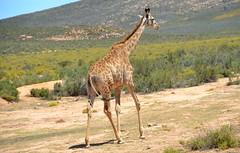 Giraffe 3 (Khaled100) Tags: africa southafrica capetown giraffe westerncape aquila gamereserve