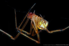 Theridion sp. (Techuser) Tags: macro nature animal yellow forest spider rainforest close stack atlantic cobweb mata piedade atlantica aranha canon50mm18 theridiidae epl5