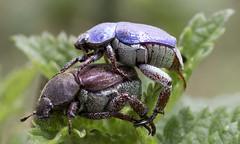 Perpetuándose (GBorrásG) Tags: insectos macro palaudeplegamans hopliacoerulea coleóptera
