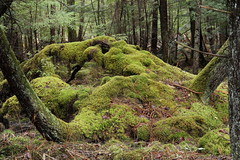 The Enchanted Forest (Diane Marshman) Tags: trees green nature forest moss spring woods pennsylvania ngc scene pa pines covered fallen northeast mossy dense greatphotographers