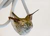 Anna's On Nest (raineys) Tags: california bird nature nest wildlife annashummingbird sanjuanbautista betabel specanimal avianexcellence