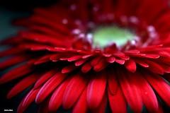 FB_IMG_1430495730755 (selmacarvalhomaia) Tags: flor gerbera florvermelha plantaherbcea herbceaornamental