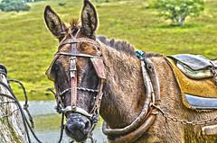 Deputado . (Cláudio Maranhão) Tags: animal models burro jumento pernambuco deputado cupira cangalha agrestina cláudiomaranhão