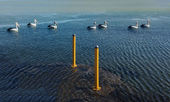 Yellow Poles with Pels (caralan393) Tags: pelicans birds yellow symetry ripples poles posts iphone