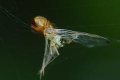 Greenfly (deceased) and spiderling (Procrustes2007) Tags: uk england spider suffolk britain wildlife arachnid flash nikond50 sudbury aphid greenfly spiderling hemiptera nocturnals wildlifephotography tamron2xteleconverter nikkor50mmais vivitarextensionrings68mmtotal