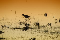 17122015 Macro El Rocio-87 (fromerocaceres.) Tags: espaa orange naturaleza bird nature colors canon spain aves andalucia naranja doana elrocio