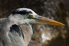 Is it raining ? (FocusPocus Photography) Tags: heron reiher greyheron graureiher vogel bird tier animal nass wet oo