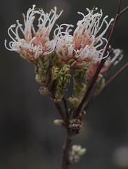 Grevillea endlicheriana, Ellis Brook Valley, near Perth, WA, 18/08/16 (Russell Cumming) Tags: plant grevillea grevilleaendlicheriana proteaceae ellisbrookvalley perth westernaustralia