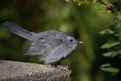 Catbird (Kevin James54) Tags: dumetellacarolinensis lakegalena nikond500 peacevalleypark tamron150600mm avian bird catbird graycatbird kevingianniniphotocom