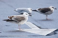 Pontische Meeuw / Caspian Gull / Larus cachinnans (peter.lindenburg) Tags: katwijk pontischemeeuw caspiangull laruscachinnans