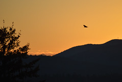 The Crow Starts Another Day (Sotosoroto) Tags: lakeridge renton seattle washington sunrise dawn equinox bird crow