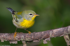 BJ8A7346-Northern Parula (tfells) Tags: northernparula warbler songbird passerine nj new jersey assunpink