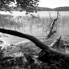 natural bank (my analog journey) Tags: pentaconsixtl fujineopanacros100 mediumformat homedeveloped kodakhc110 hc110 developer:brand=kodak developer:name=kodakhc110 lakelaach laacherseeeifel blackwhite mov movformatcom ©bymikemov 042016 filmdev:recipe=10996 film:brand=fuji film:name=fujineopanacros100 film:iso=100