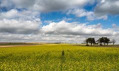 yellow field. (moniquevantorenburg) Tags: landscape landschap flowers bloemen yellow geel clouds wolken luxemburg holiday field outdoor trees bomen