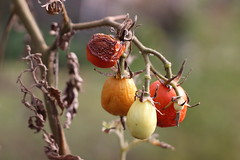 Tomatoes (Mrkvaakh) Tags: tomato tomatoes dead fall autumn decay wrinkles vegetables future food