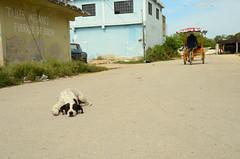 Dog in the road (moke076) Tags: nikon d7000 trici quintana roo mexico quintanaroo chiquila travel dog animal street road stray mutt sleeping dirt random man bike streetdog