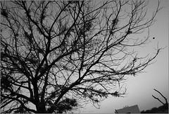 left .. (nevil zaveri (thank you for 10 million+ views :)) Tags: zaveri nature landscape khejari tree trees thar desert rajasthan india images stockimages nevil nevilzaveri stock photo khuri rural village monochrome blackandwhite bw crow birds animals house home dwelling nest flight fly