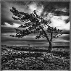 The tree @ killbear (Sean X. Liu) Tags: killbear provincial park wind swept pine tree rock blackandwhite monochrome ontario canada