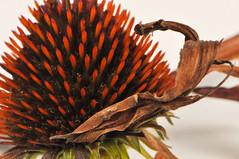 Echinacea purpurea (viliris) Tags: macro echinacea flower autumn orange organicform