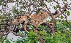 Indian Leopard (vaidyarupal) Tags: indianleopard pantherapardusfusca felidae leopard bigcat bigcatsofindia wildlife wildlifephotography nature rupalvaidya vaidyarupal canon7dmk2 canon400mm sasangir gujarat india girnationalpark mammals mammalsofindia
