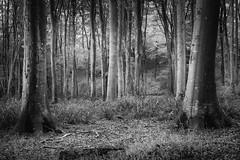4656 (gcu_sketcher) Tags: xt1 xf1655 dawn morning sunrise woods trees woodland countryside silverefexpro daybreak somerset october
