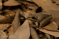 Broad-Palmed Frog (J.P. Lawrence Photography) Tags: 2016 amphibians amphibia amphibian anura anuran australia australia2016 frog frogs hylidae herp herpetology herps hylid litoria litorialatopalmata queensland salientia spring2016 travel treefrog vertebrates vertebrata vertebrate