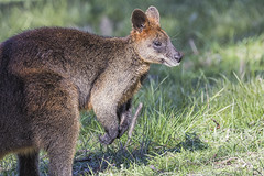 Wallaby 2016-10-13 (60D_4198) (ajhaysom) Tags: wallaby woodlandshistoricpark greenvale melbourne canoneos60d sigma150600
