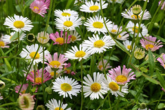Spring Meadow_1164 (Rikx) Tags: spring flowers daisies flowerbed meadow springmeadow white pink yellow green outdoor plant nopeople horizontal homegarden adelaide southaustralia flower 3f fantasticflowers