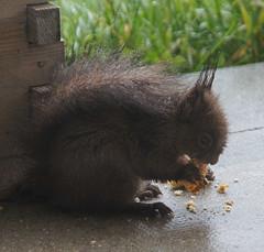 petit cureuil sous la pluie (sophie74120) Tags: cureuil rongeur