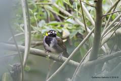 White-eared Ground-Sparrow (Melozone leucotis) (Gmo_CR) Tags: melozoneleucotis whiteearedgroundsparrow pinznorejiblanco cuatroojos payasito patiodeagua costarica coronado