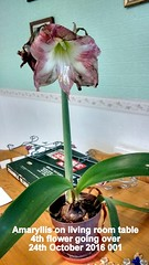 Amaryllis on living room table 4th flower going over 24th October 2016 001 (D@viD_2.011) Tags: amaryllis living room table 4th flower going over 24th october 2016