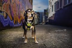 48/52 - alleyway dog... (yookyland) Tags: 52weeksfordogs jasper 2016 4852 dog city urban alley graffiti