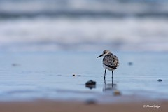 The Sentry (Ali Ly) Tags: autumn beach calidrisalba day outdoor rspb sand sanderling sea shorebird surf titchwell wader