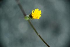 Fleur urbaine et solitaire (Slamino) Tags: macro flower film like m42 m43 helios442 zhongyi lens turbo