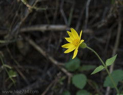 "Arnica • <a style=""font-size:0.8em;"" href=""http://www.flickr.com/photos/63501323@N07/30544470652/"" target=""_blank"">View on Flickr</a>"