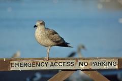 No parking - Landing OK (Daggormet) Tags: nature wild wildlife cosmeston cosmestonlakes penarth nikon nikond5200 bird avian animal