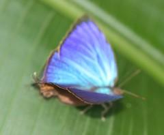 Oak-blue Butterfly (Arhopala sp.) (iainrmacaulay) Tags: butterfly australia oakblue arhopala