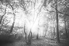 Scratchwood brilliance. (Sean Hartwell Photography) Tags: scratchwood forest wood borehamwood hertfordshire england autumn sun sunlight trees light solar shining blackandwhite monochrome