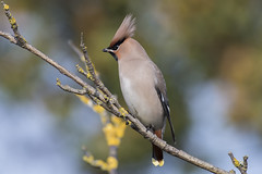 (140) Bird - Waxwing - Rectory Lane, Carlton Colville
