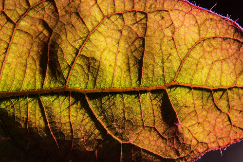 Angophora leaf