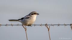 Loggerhead Shrike (Bob Gunderson) Tags: birds california centralvalley laniusludovicianus loggerheadshrike northerncalifornia robinsonroad shrikes solanocounty